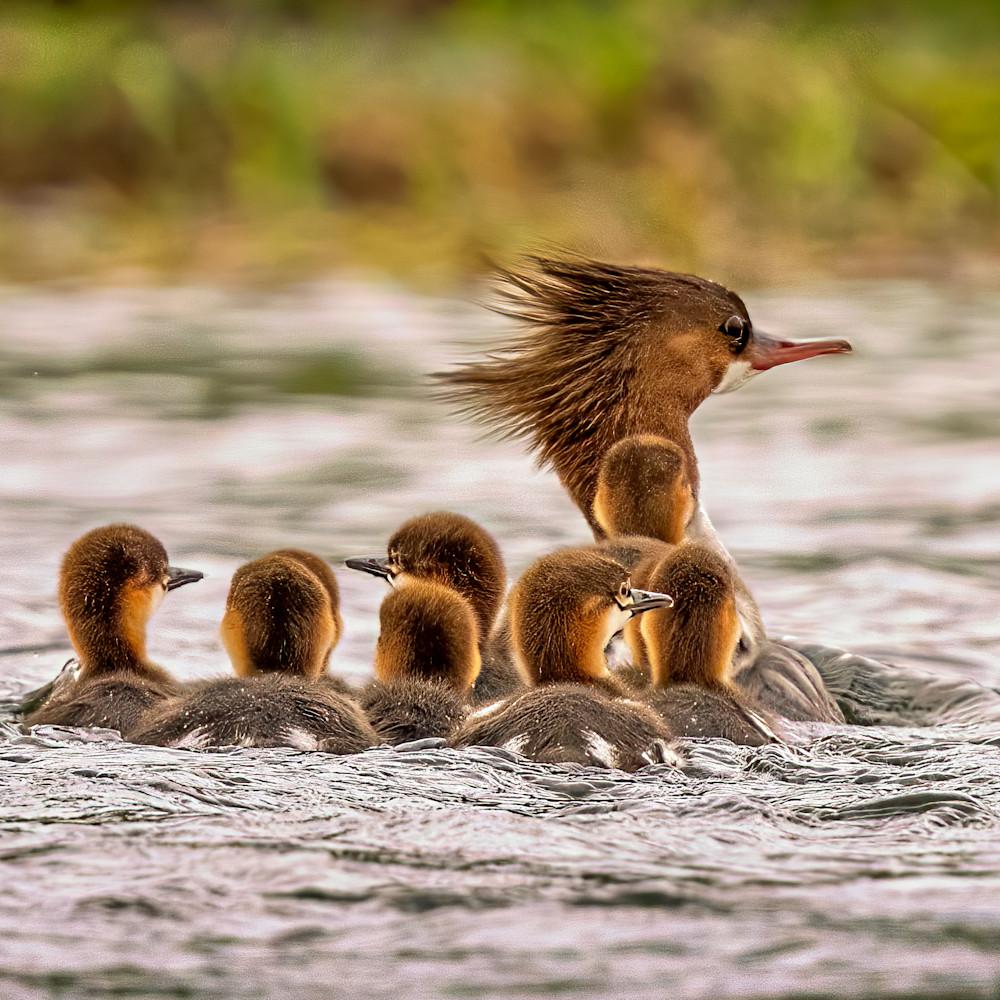 Merganser and chicks ylk0z0