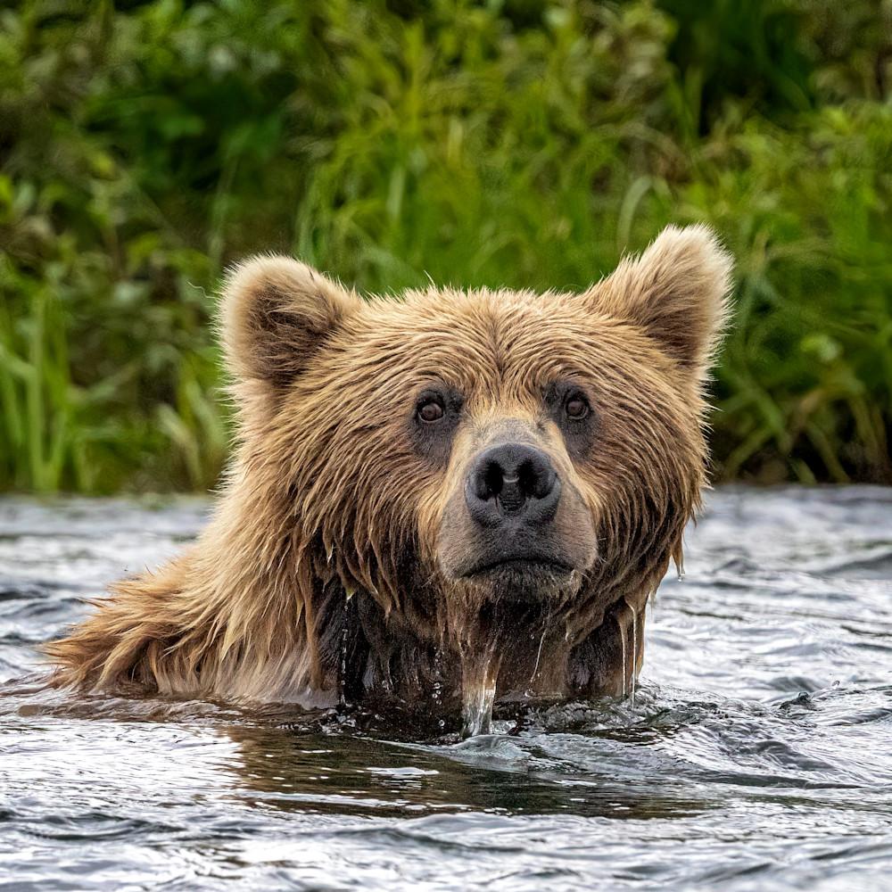 Swimming bear i2hmm2