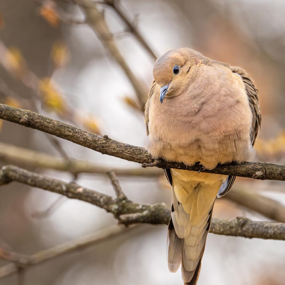 Mourning dove o0741b do1er5