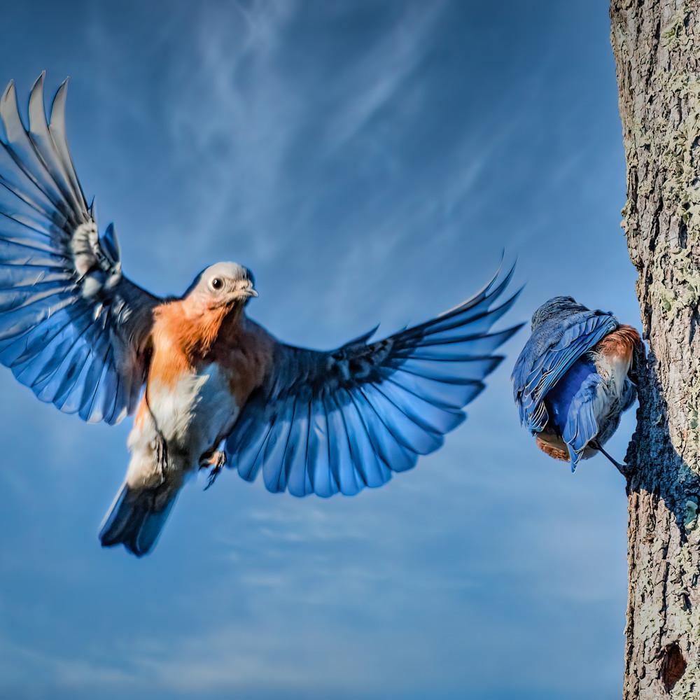 Eastern bluebird with wings spread 1 bekxht