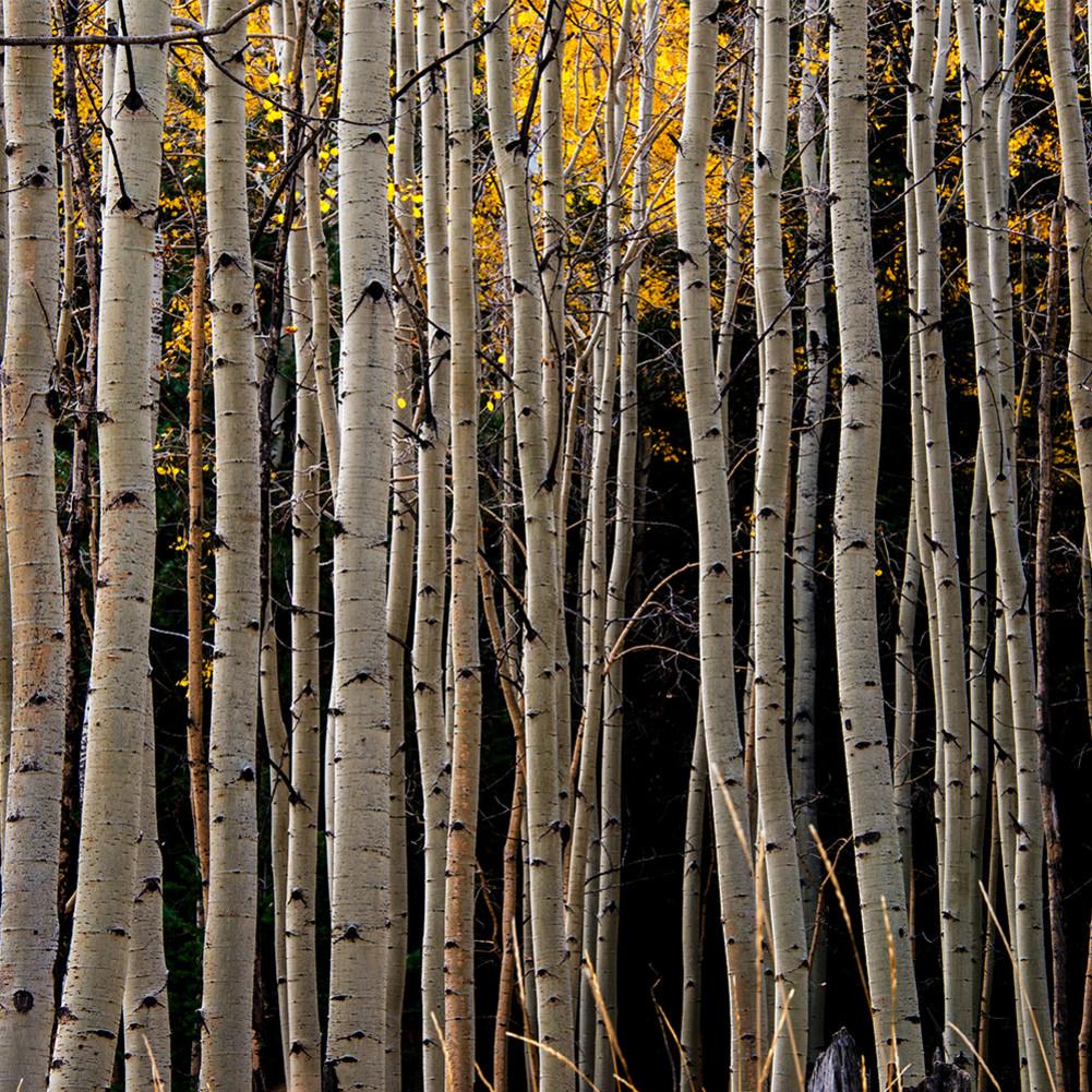 Aspen trees fall lines d2dkk0