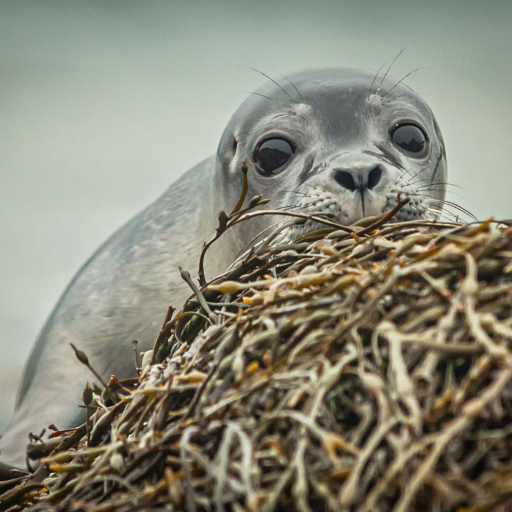 Seal pup levbr0