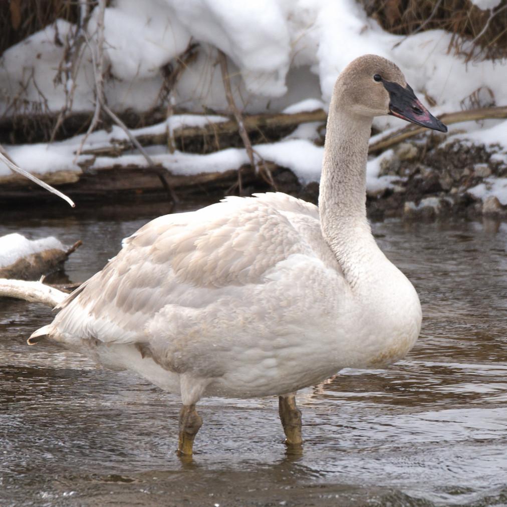 Snow goose pejcmq