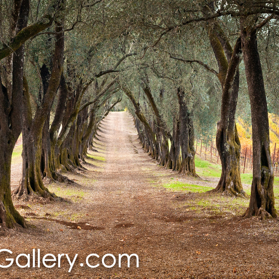 The olive grove path uhstps