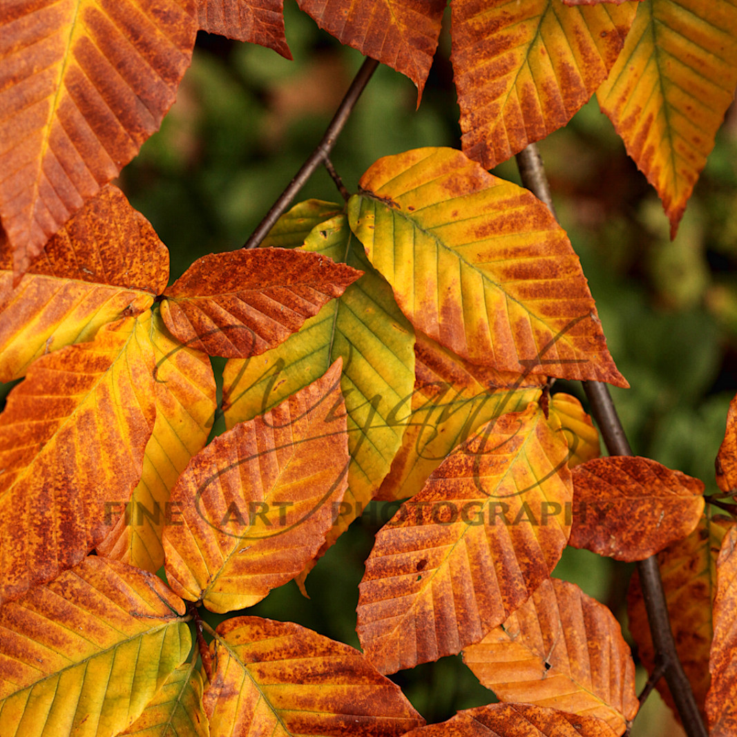 Beech leaves in wyant copy lhhual