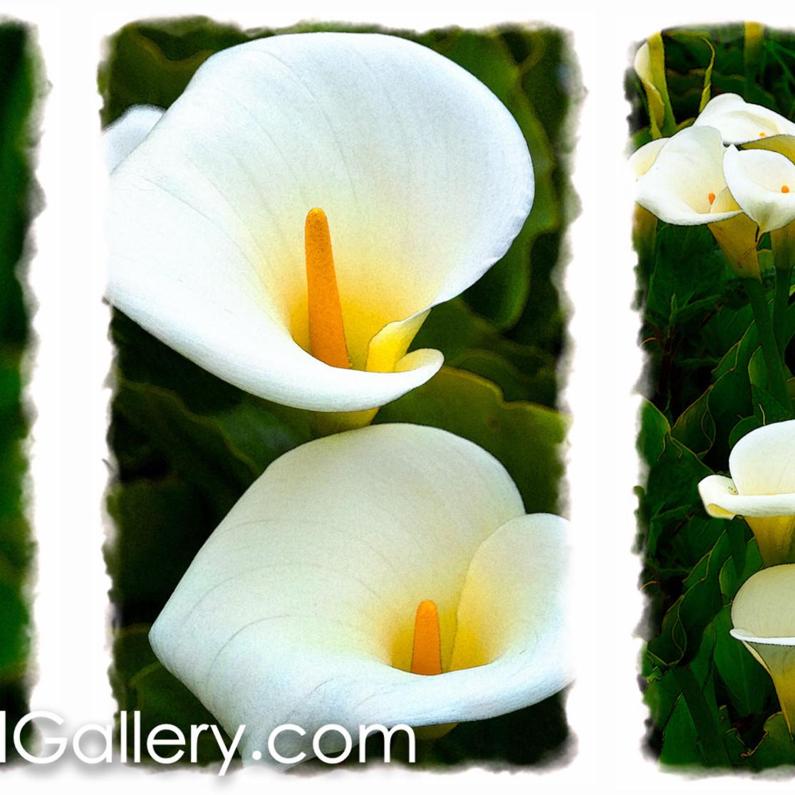Wild lillies da4sjc