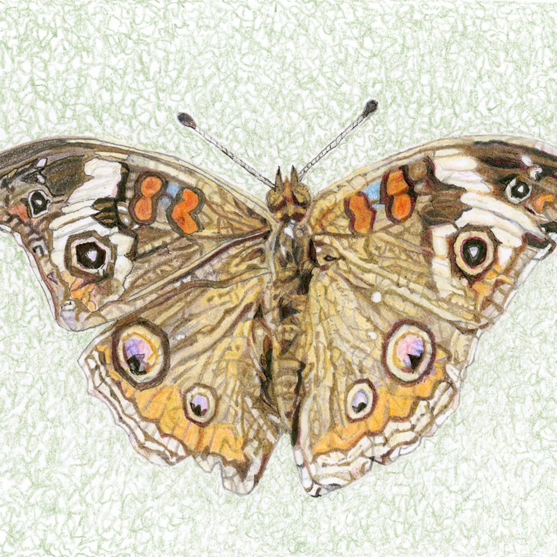 Common buckeye butterfly needlf
