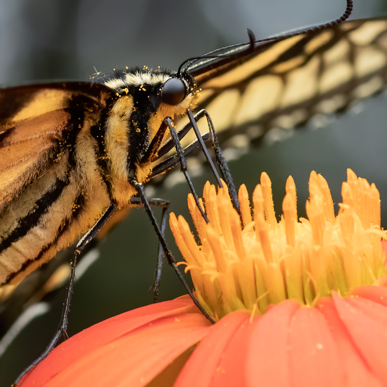 Eastern tiger swallowtail butterfly feeding rnzkto