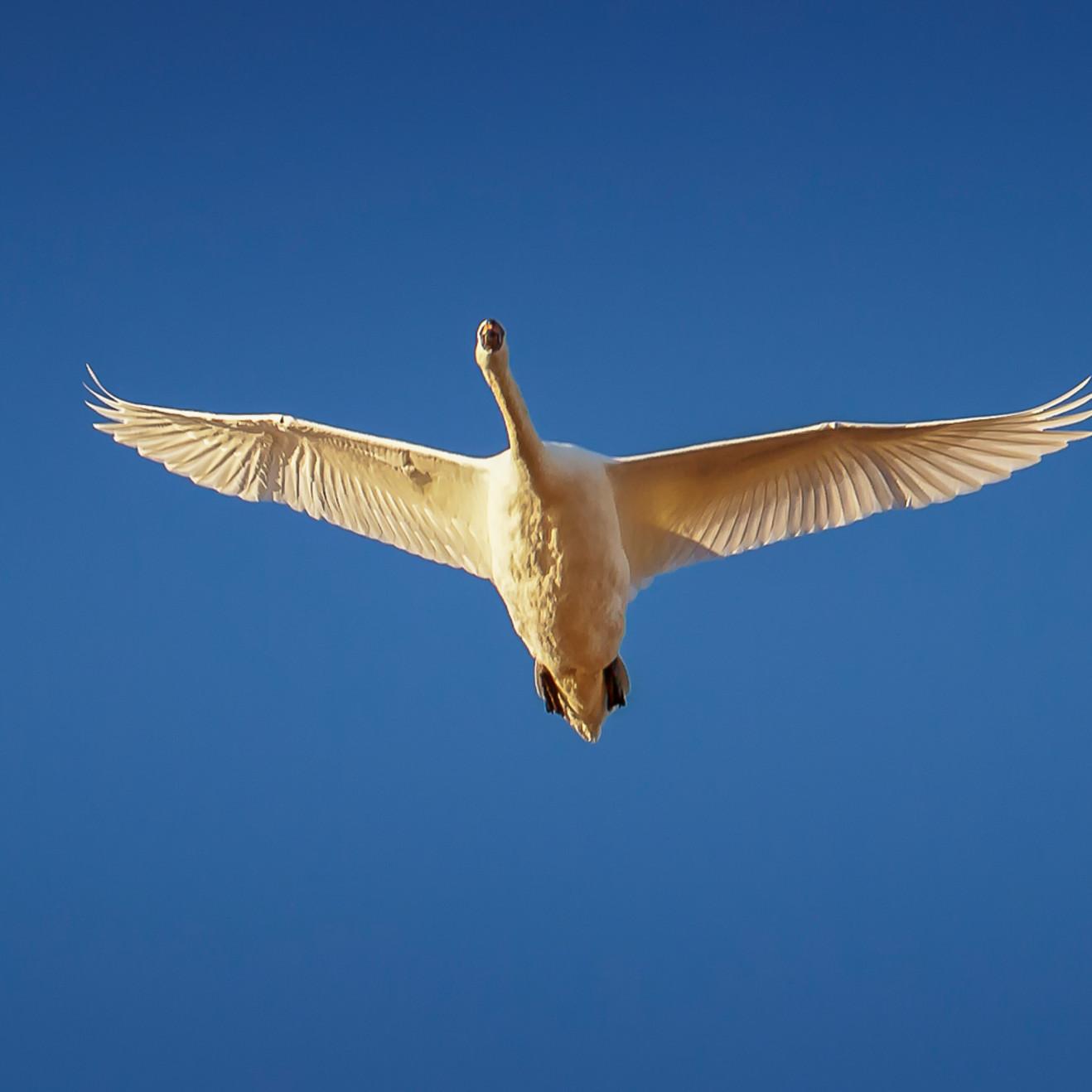 Long point blue sky swan emyj9c