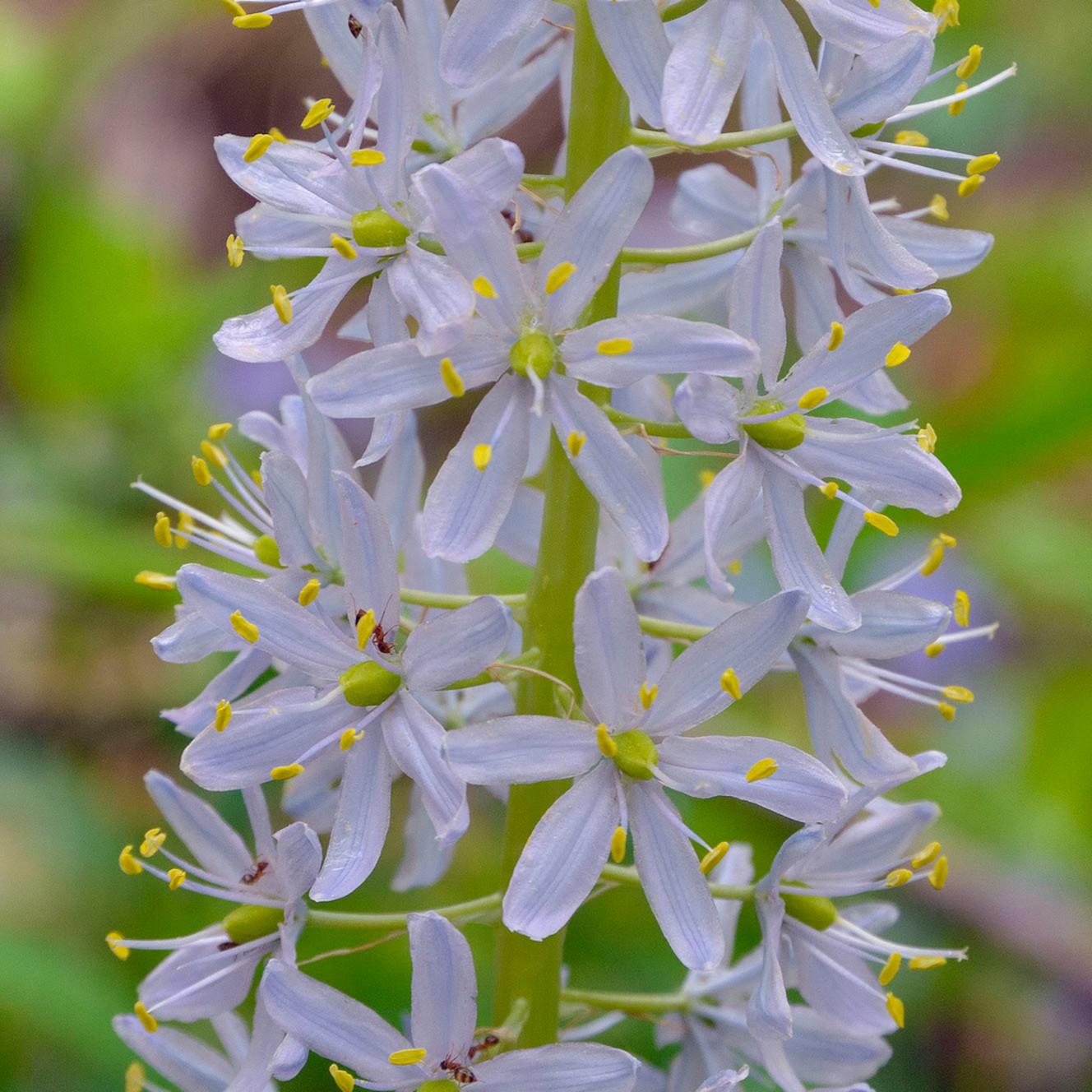 Wild hyacinth 3 xdtzrn