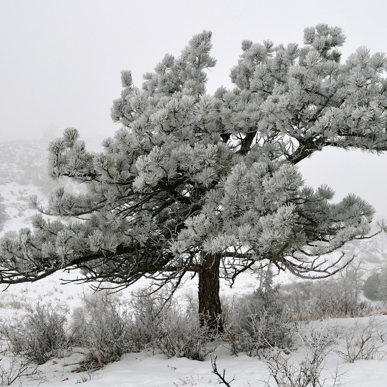 Frozen ponderosa mxxdug