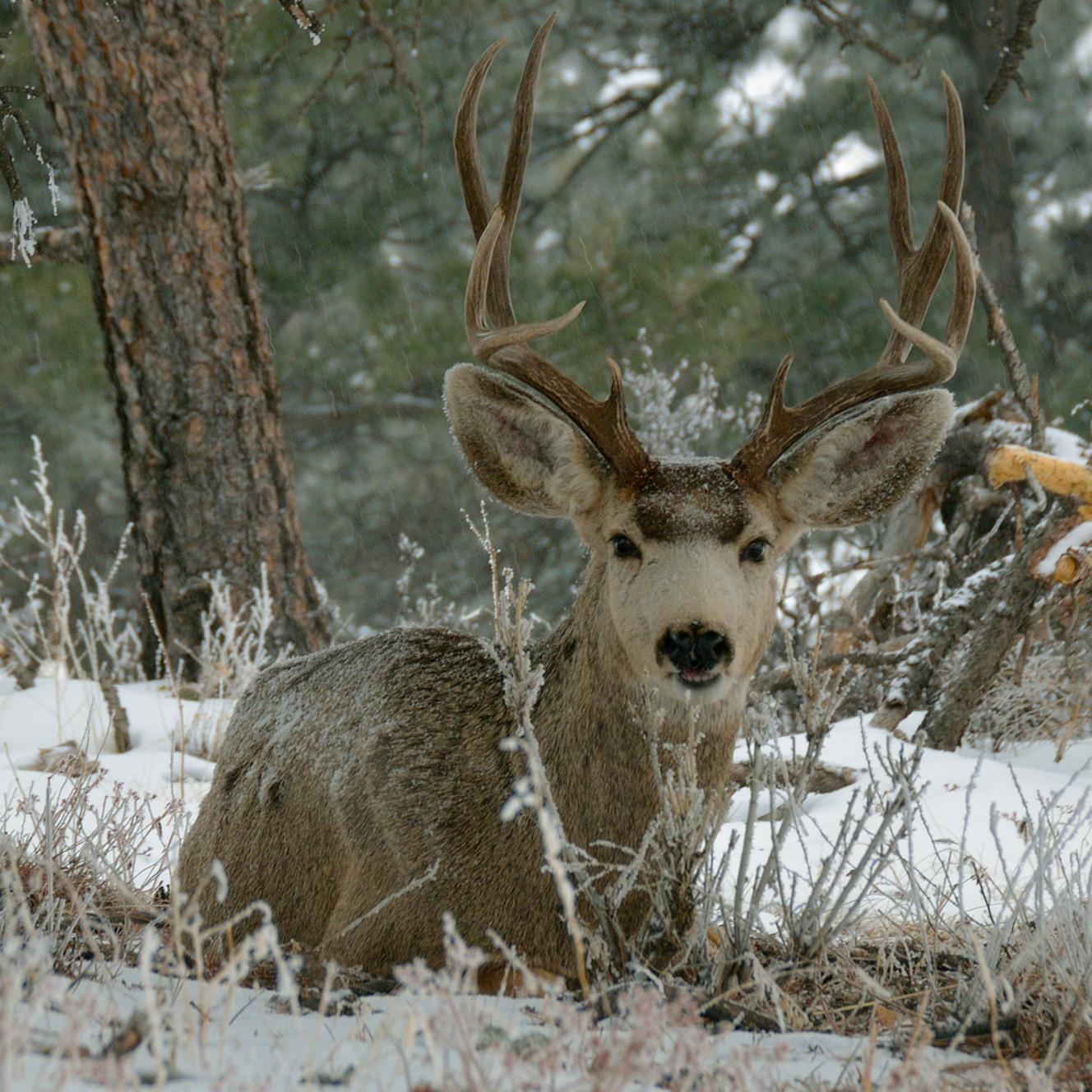 Mule deer x7bkyq