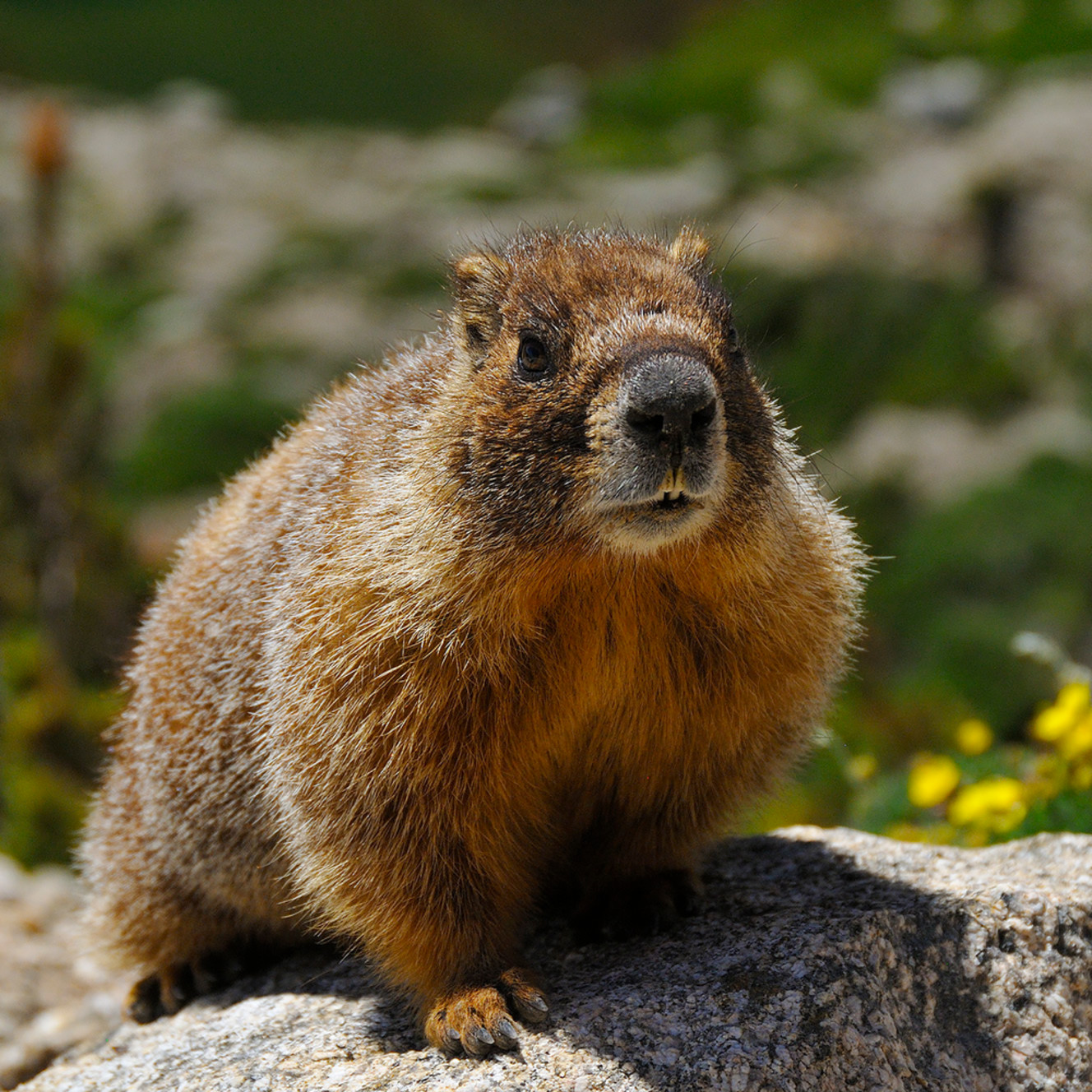 Yellow bellied marmot 2 l9svqo