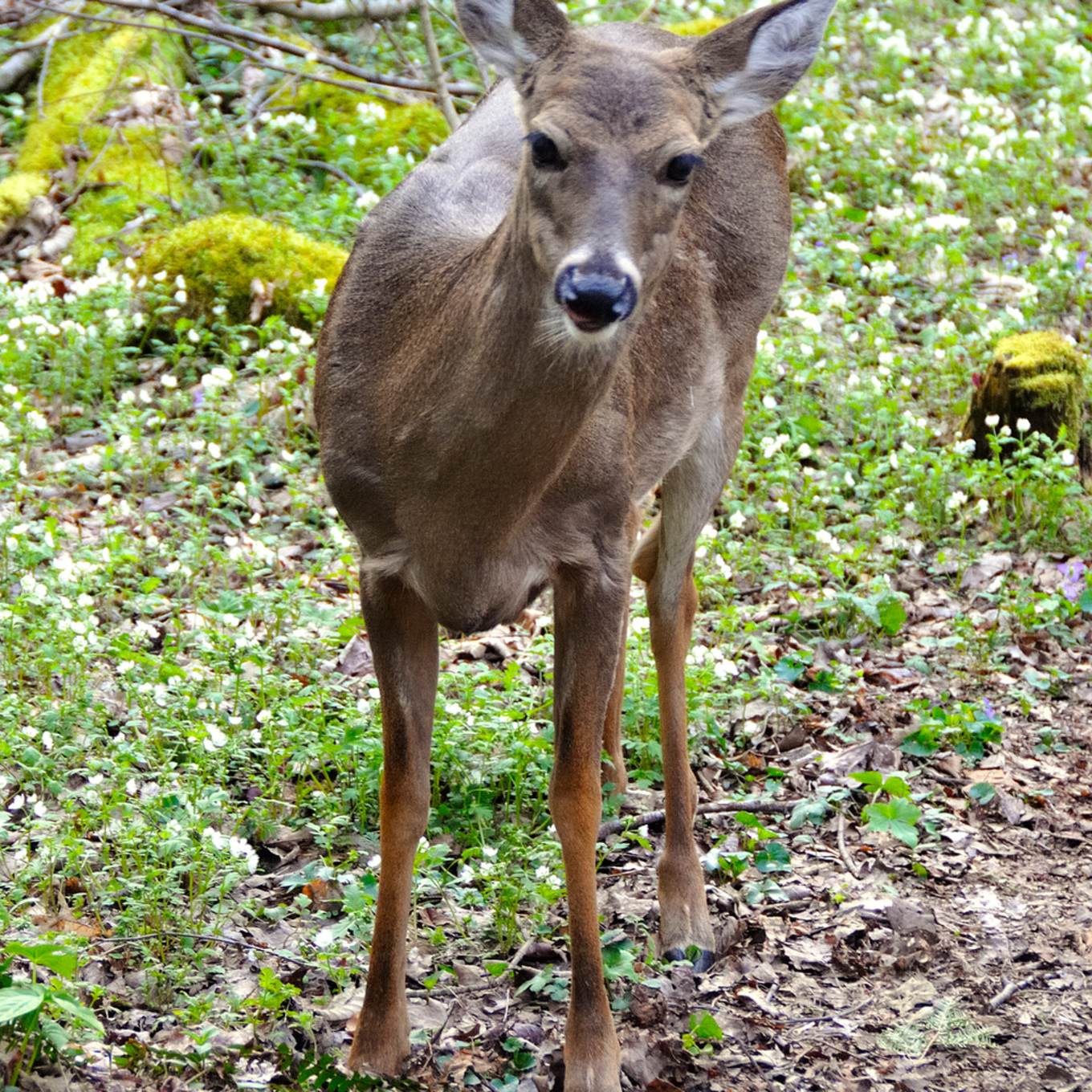 White tailed deer 1 ufvre2