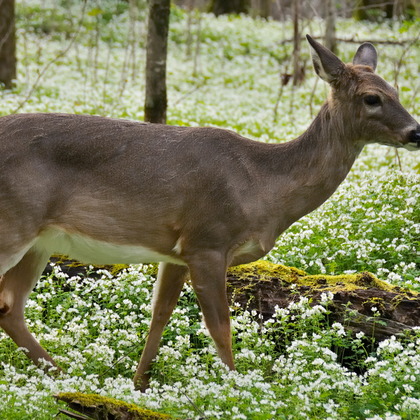 White tailed deer 2 1 pl72oc