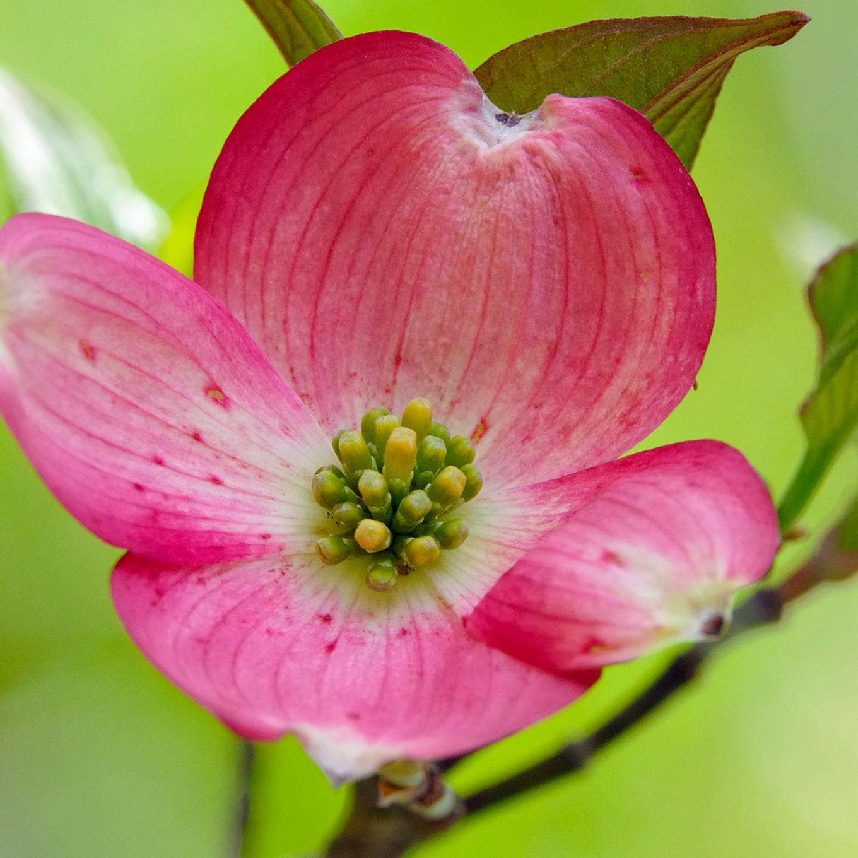 Flowering dogwood a688rt