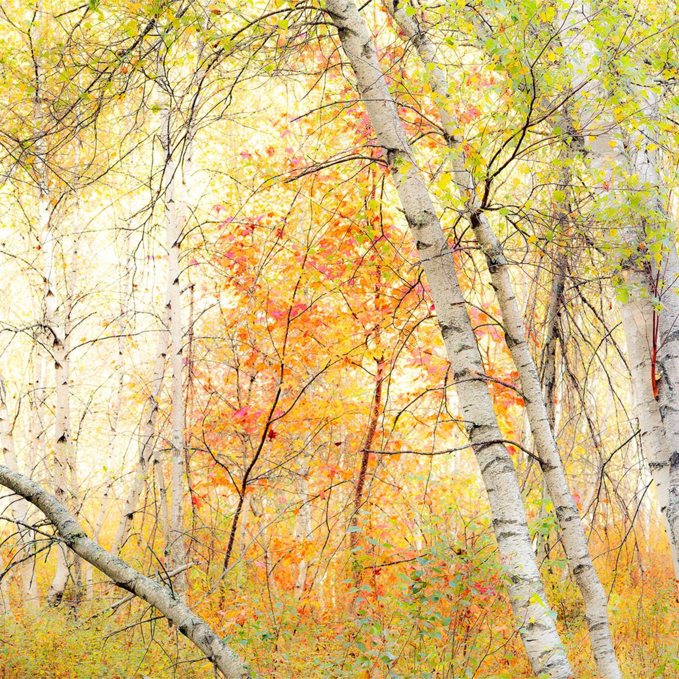 Autumnbrilliance whitebirch whtmnts 2015 10 05 0483 webopt vx3lcs