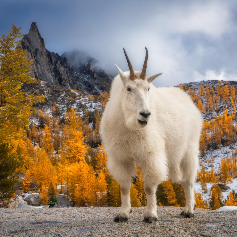 Mountain goat gmqy2r
