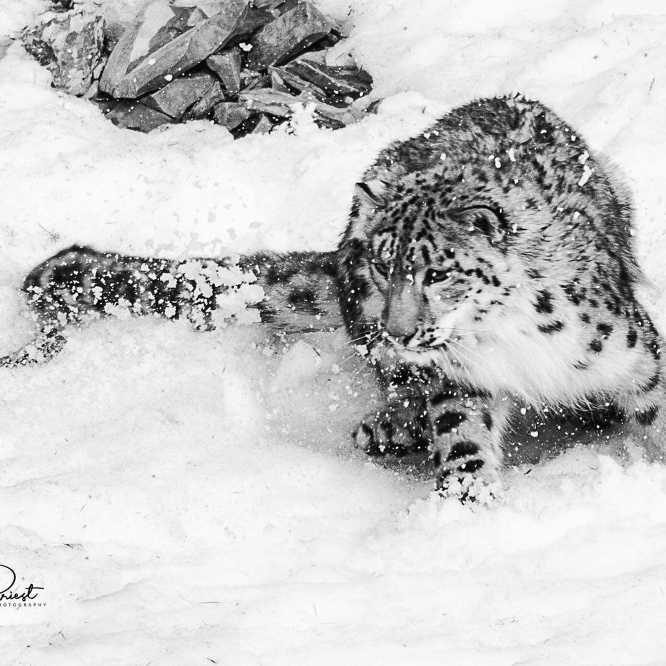 Tripled snowleopard mystique 8556 4 signed avnnyd