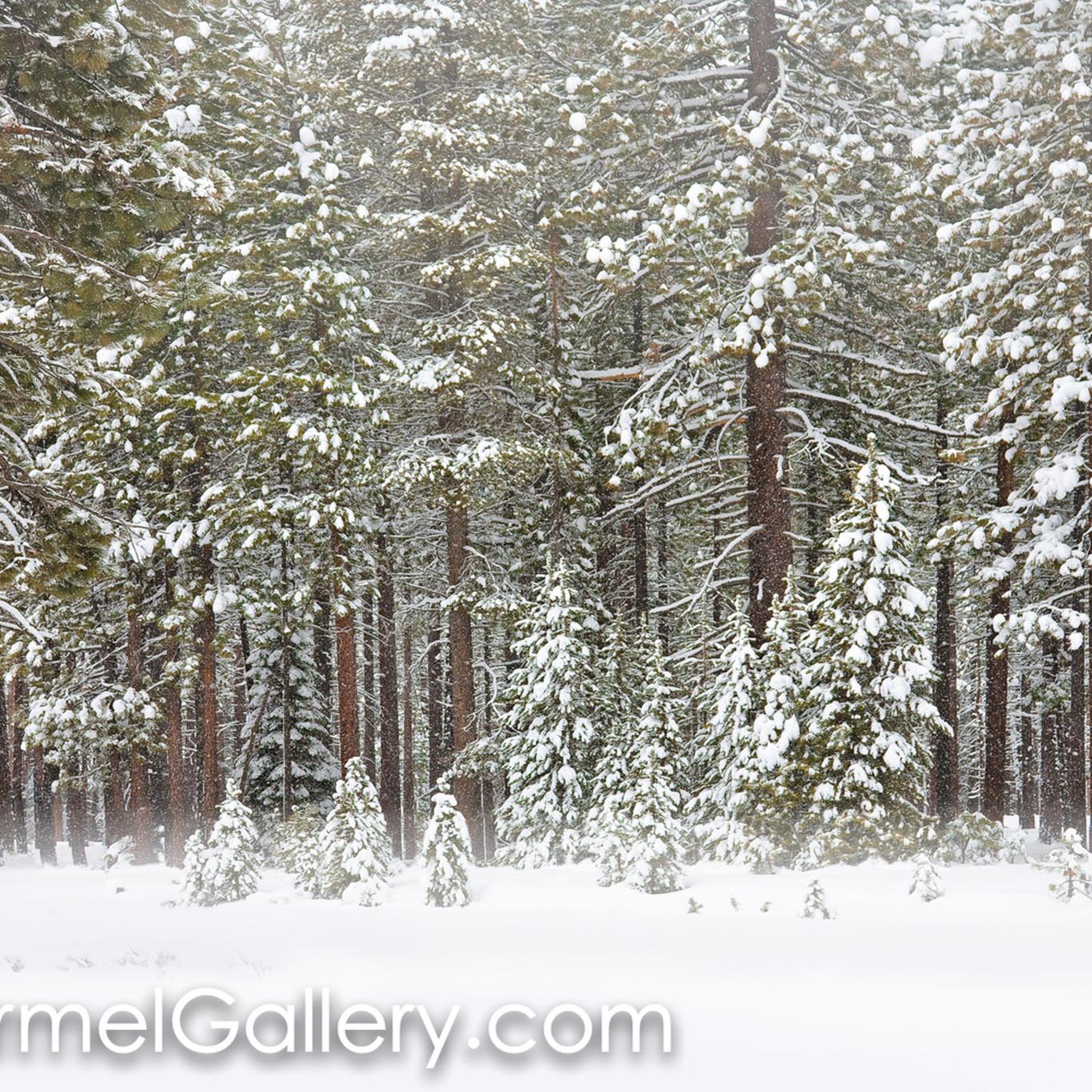 Fresh snow winter evergreens a3dlke