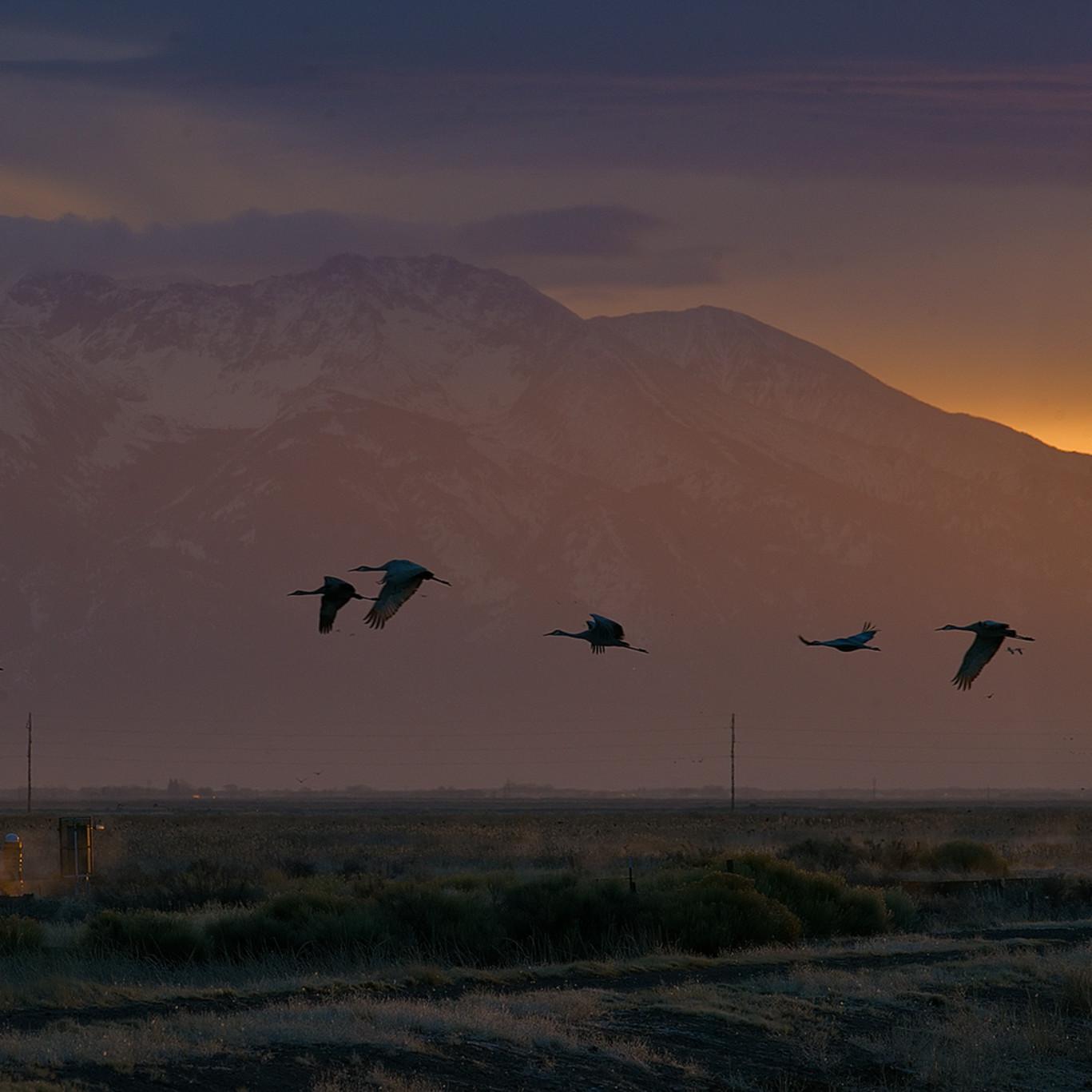 Sandhill cranes 5 sfmuer