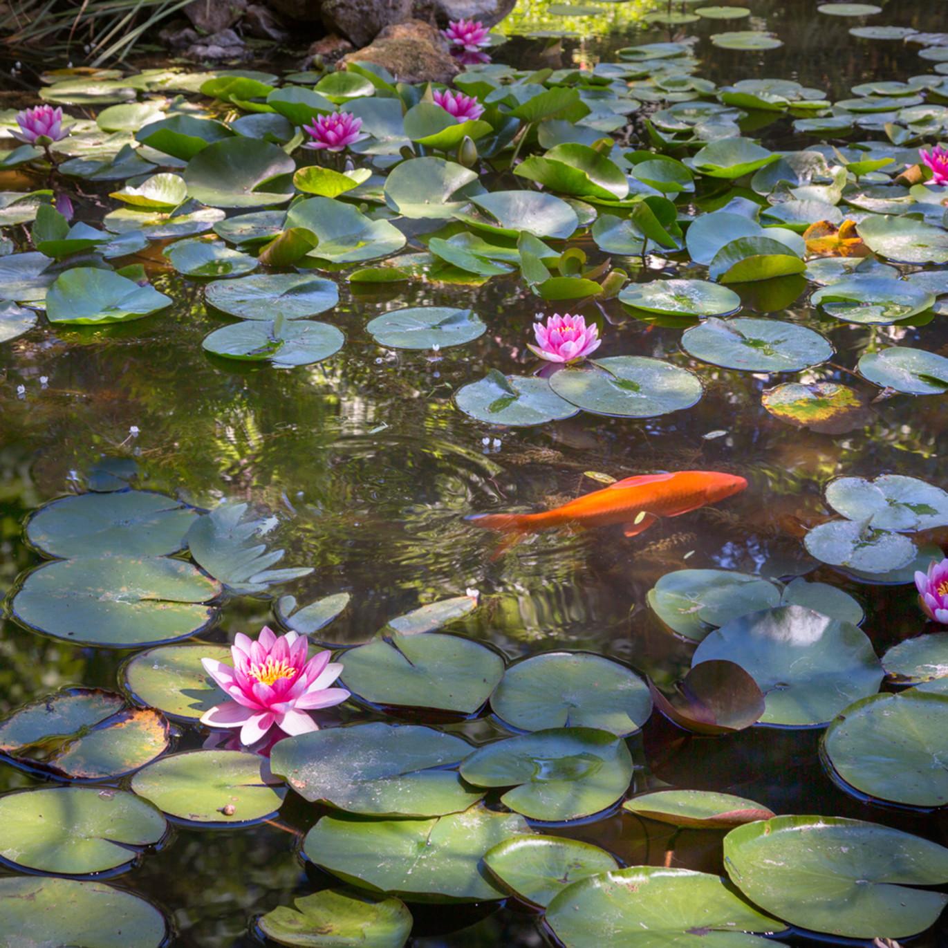 Waterlily pond vr1ig0