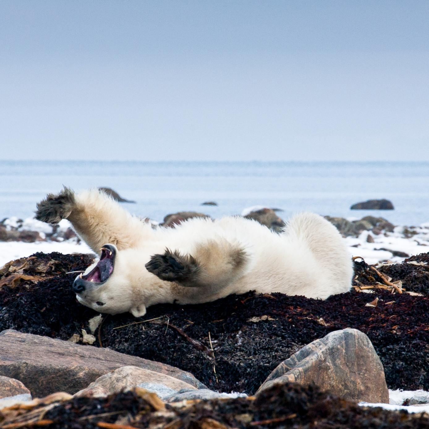 Polar bear f8ksec