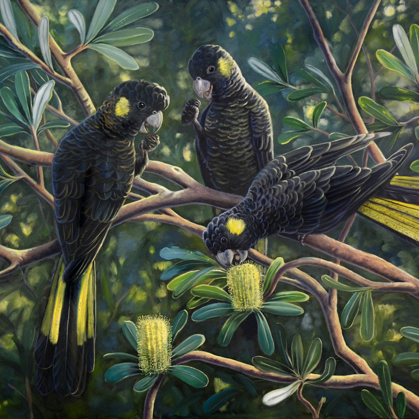 Yellow tailed black cockatoos socialmedia xobhx3