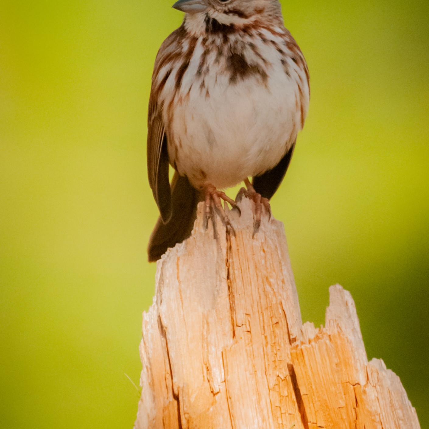 Song sparrow2 mm68af