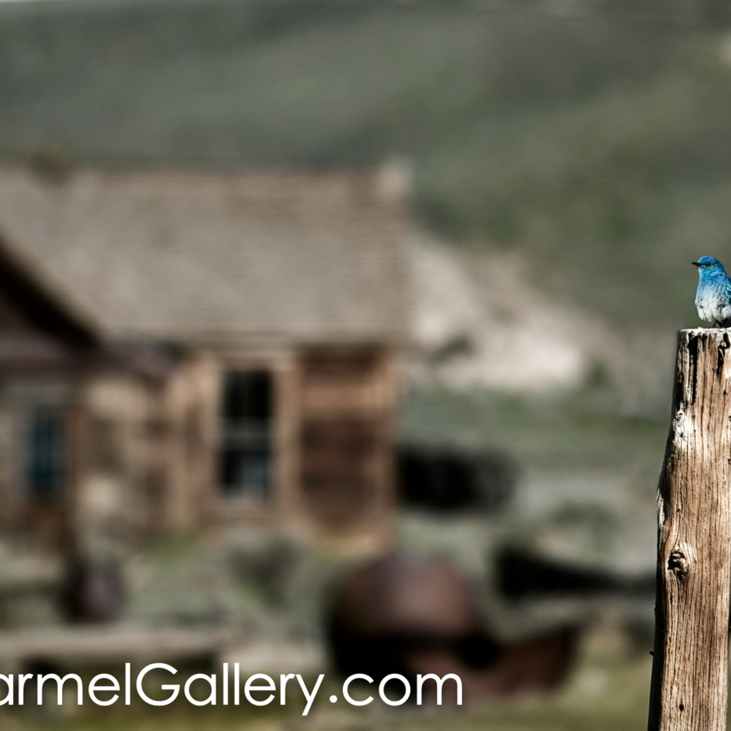 Bodie bluebird erdjdk