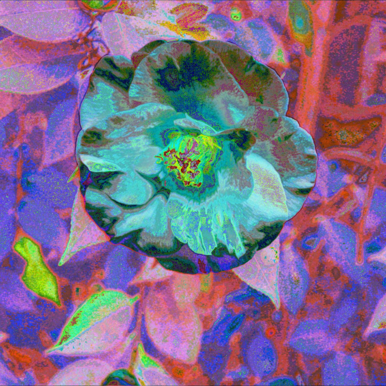 Camellia 2 transformed xiiia ezamsh