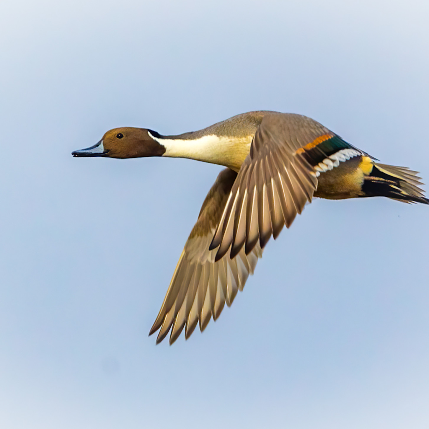 Male northern pintail in flight against blue sky dunsiz