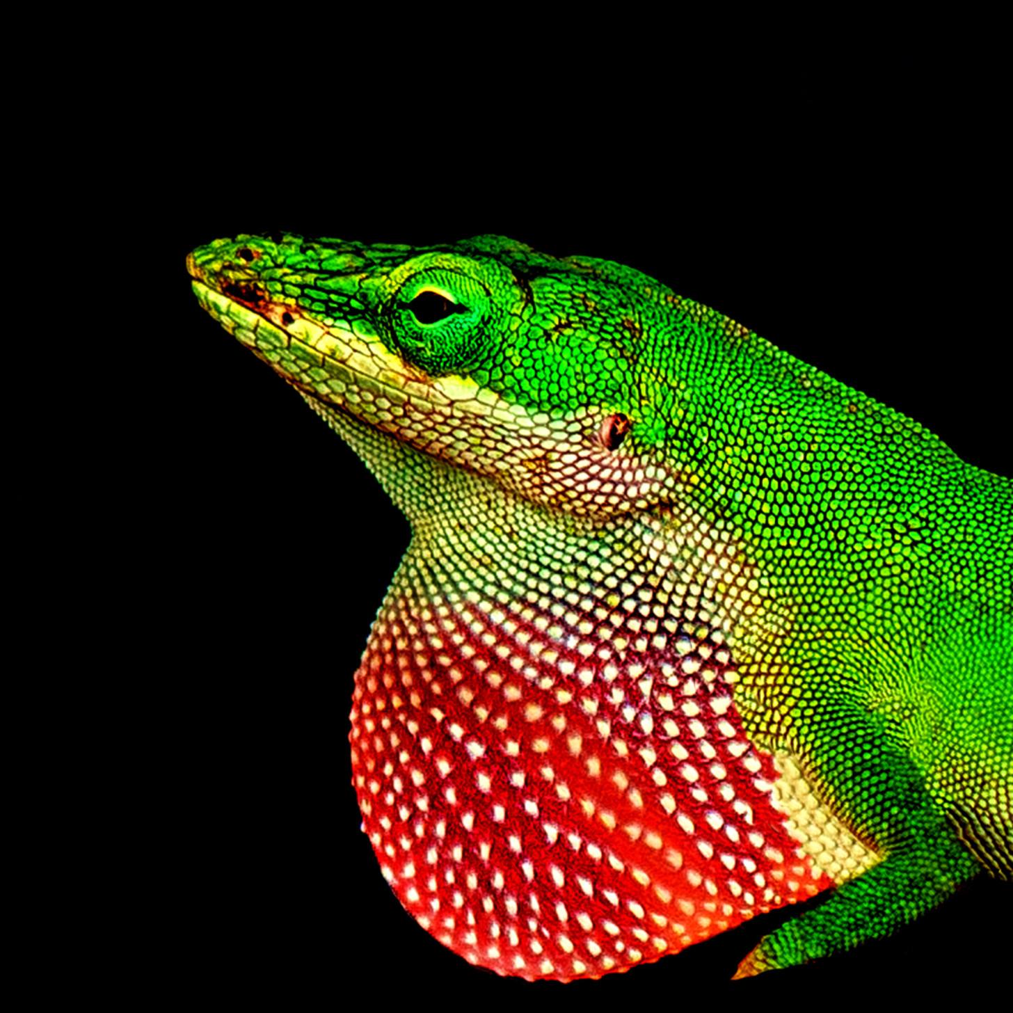 Lizard bs7mdq