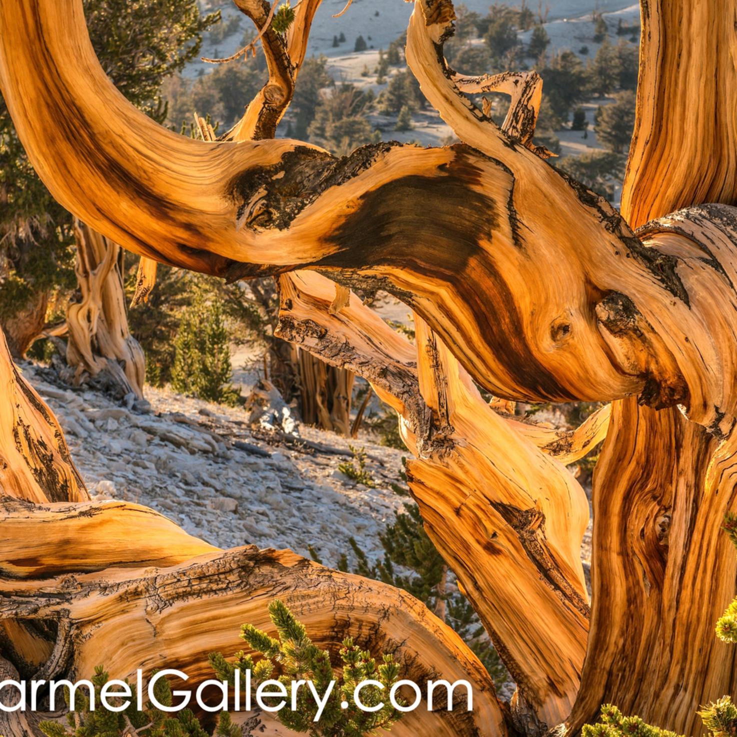 Autumn sun bristlecone pine uudrji