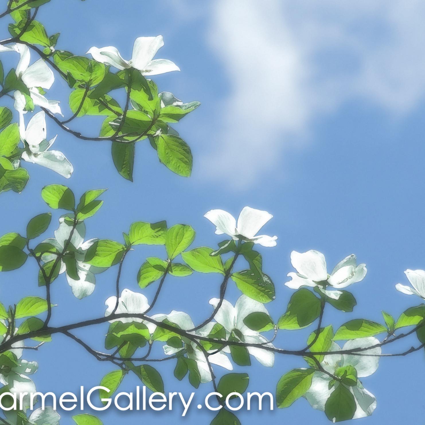 Dogwood blossoms hlgrqv