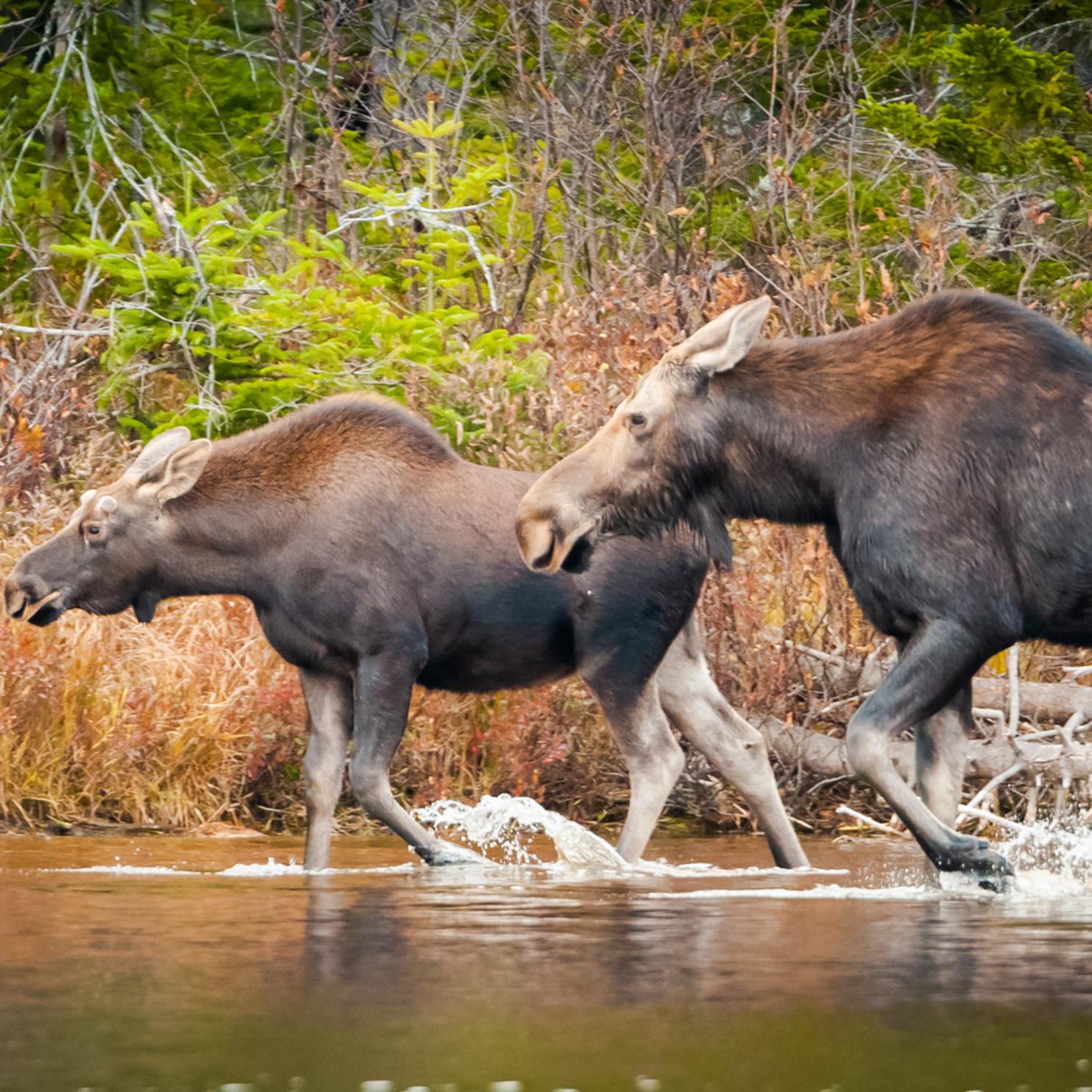 Moose race jgq550
