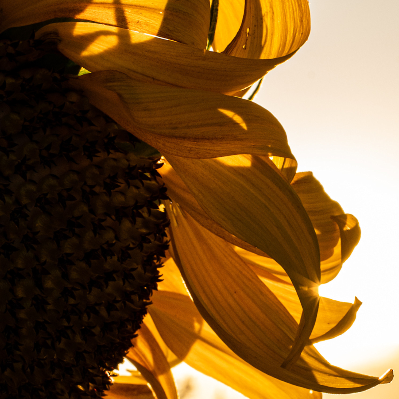 Twp sunflower 20200815 0002 2 ejldcv