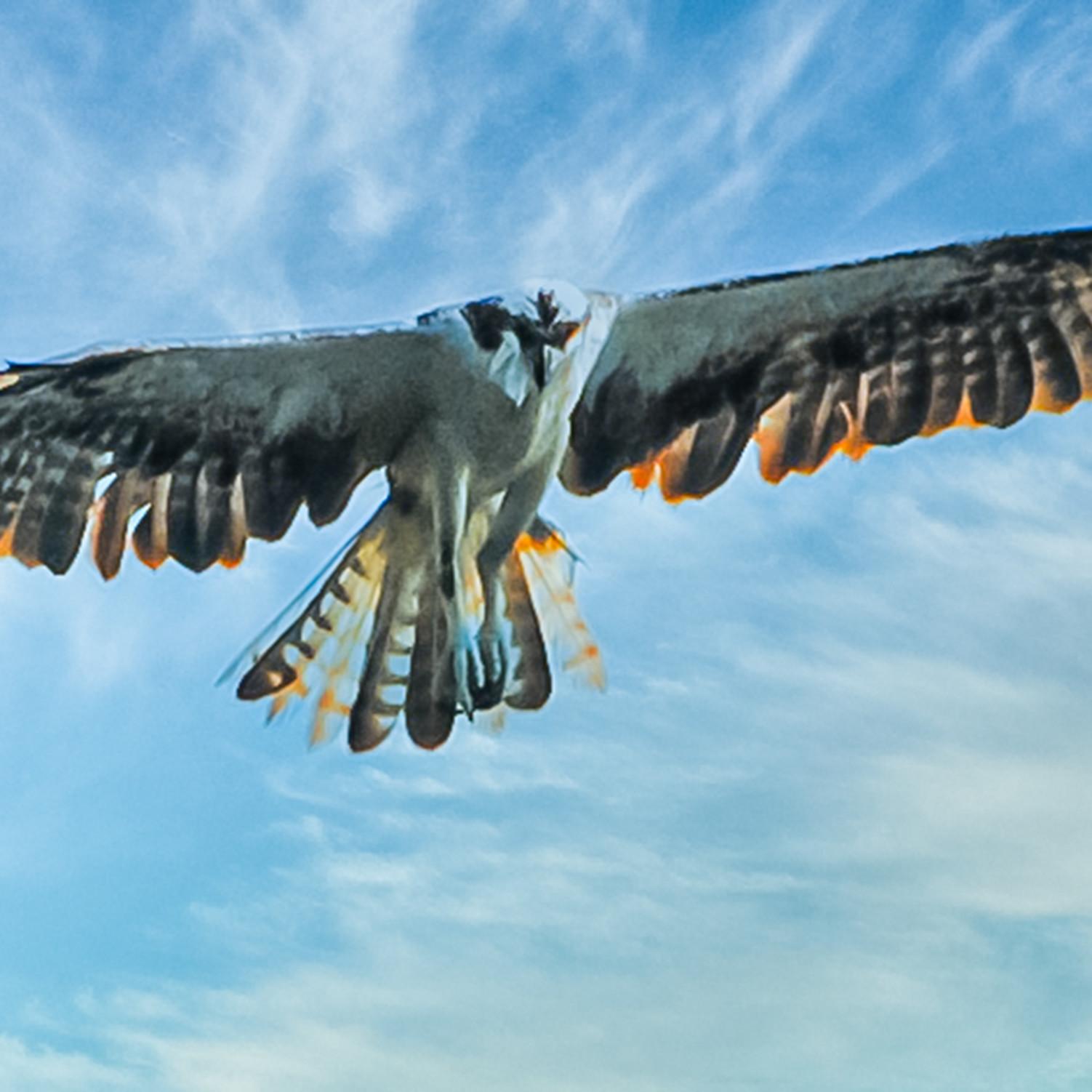 Osprey hovering 1 fxqnic