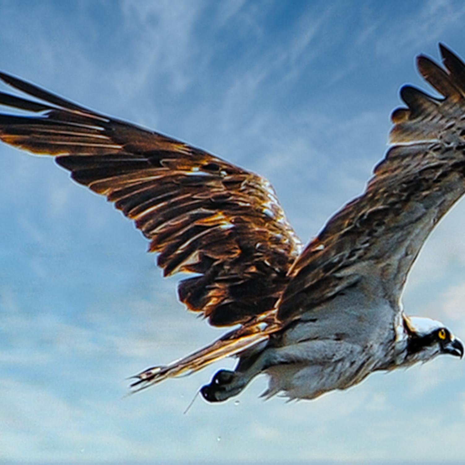 Osprey in flight 3 eprtal