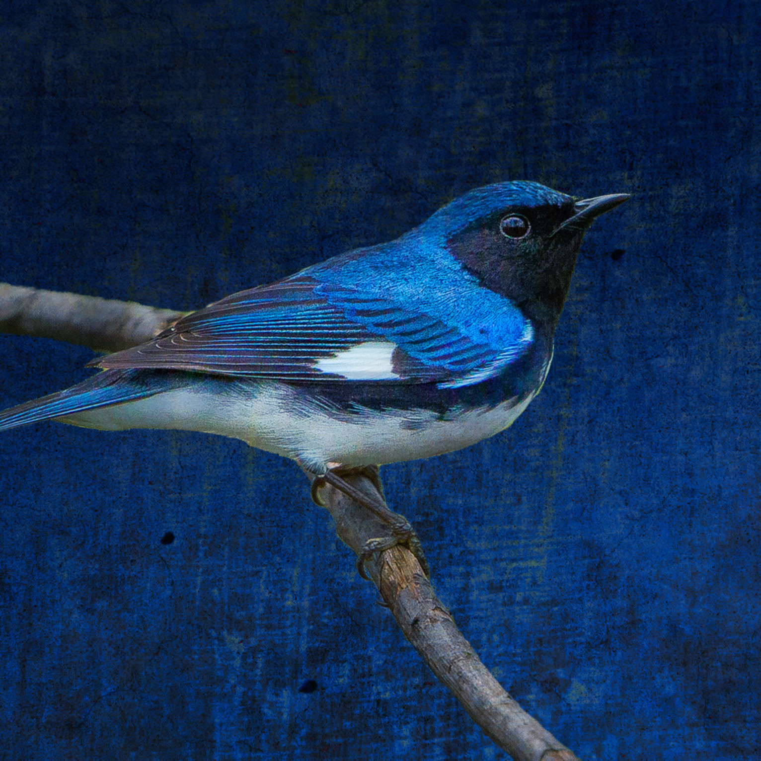 Black throated blue warbler 20150510 161258 mc 200 1 2 2 zdhnhw