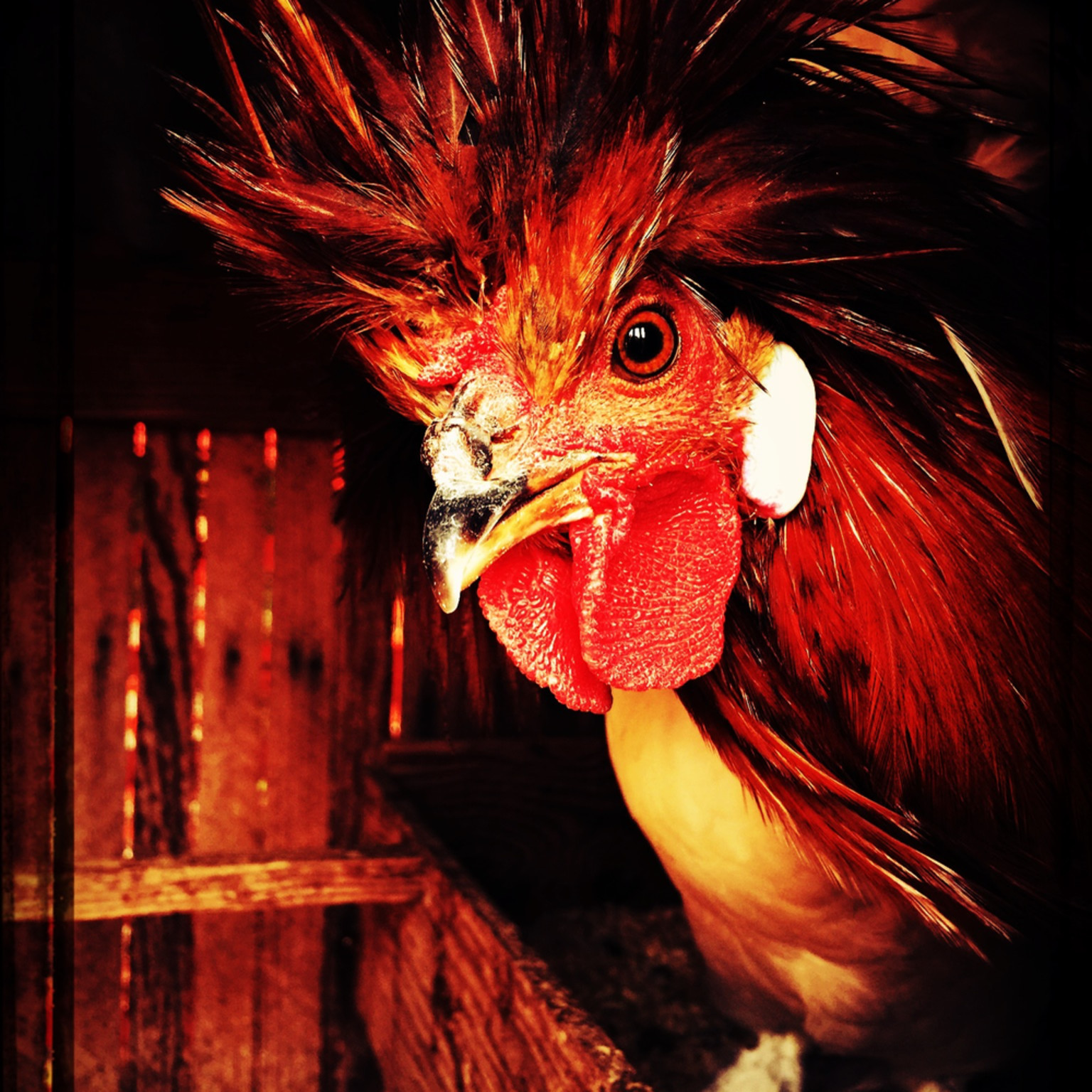 Red rooster attitude img 8912 bootz2