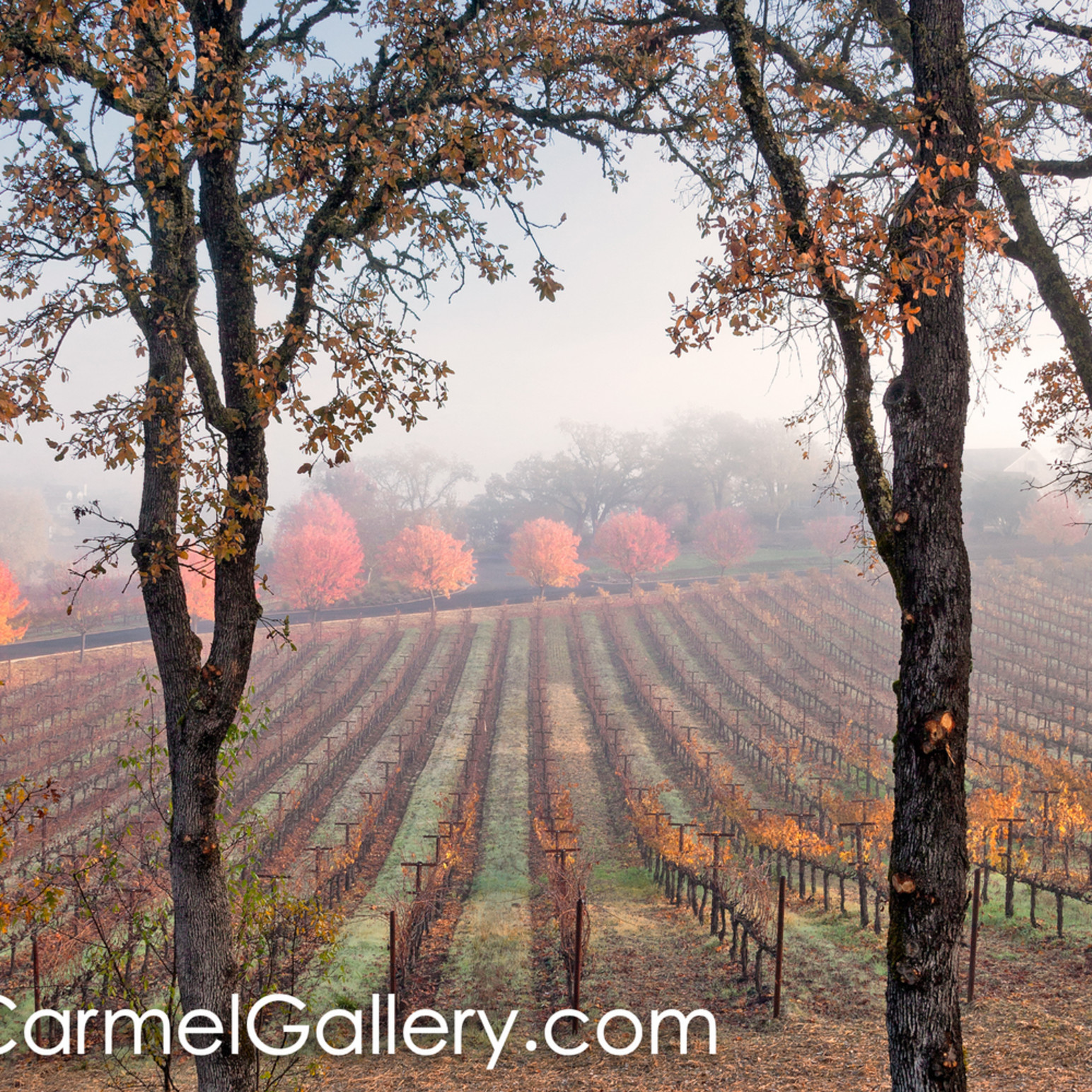 Clearing fog wine country dzqojw