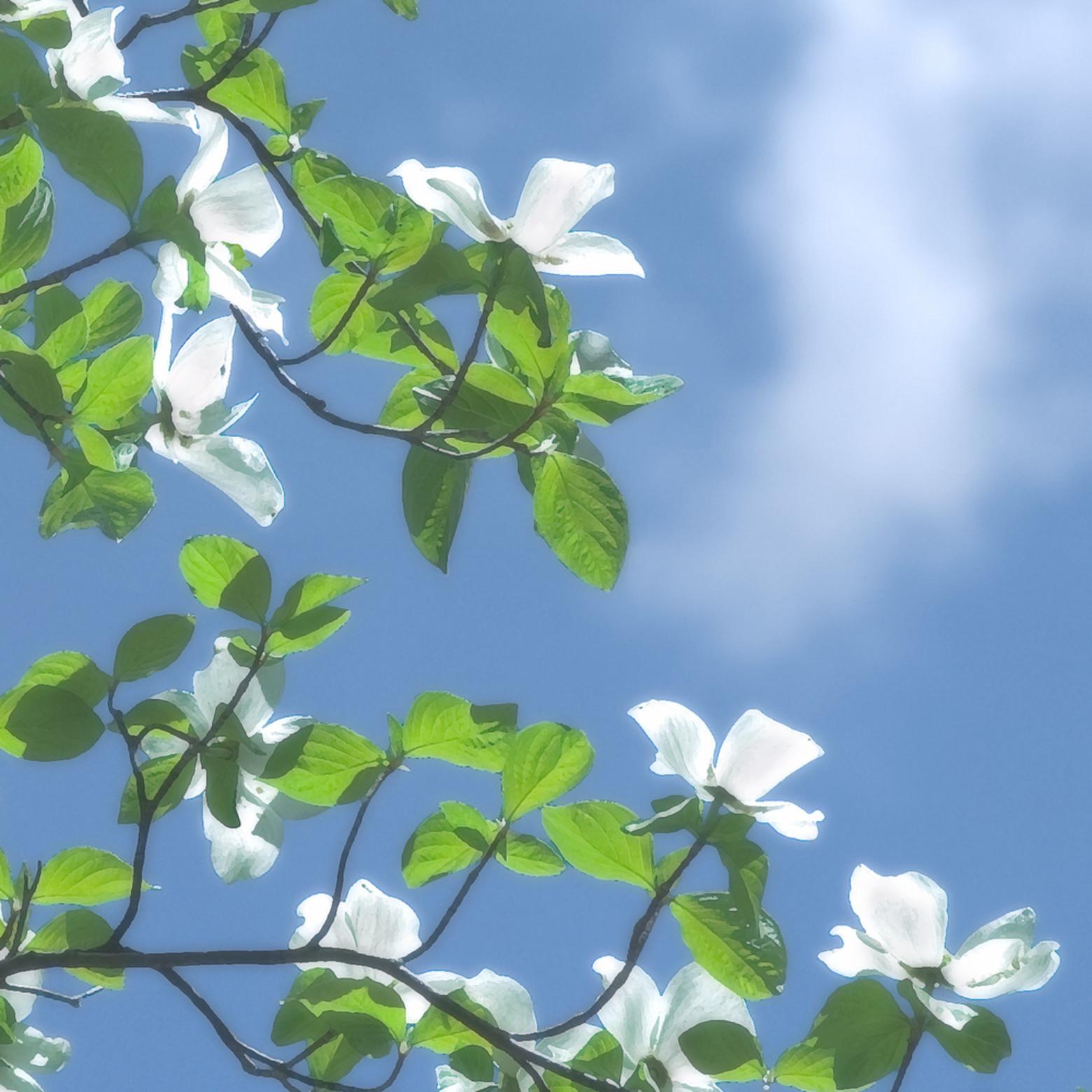 Dogwood blossoms v jgnijg