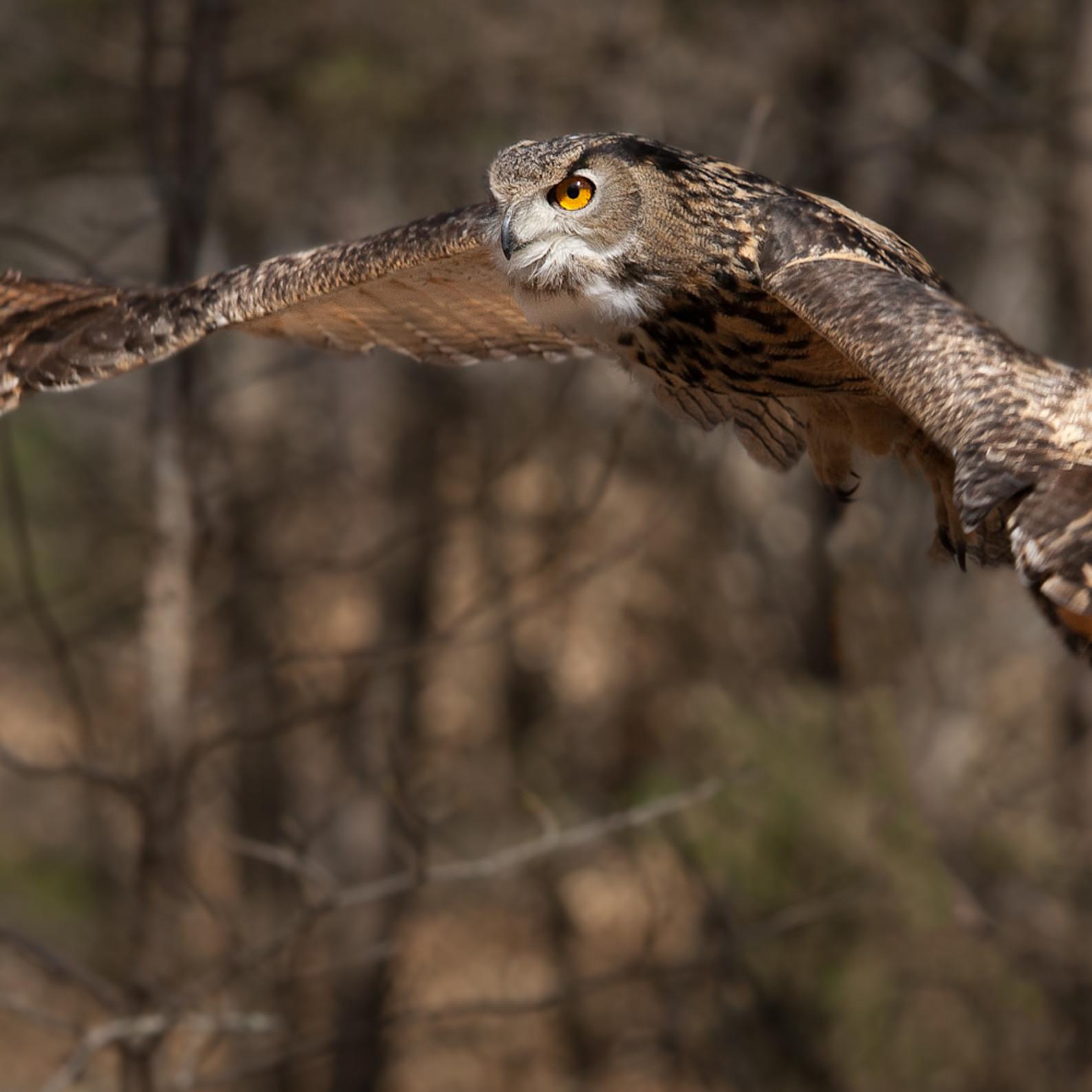 Huntersville nc march2015 cuda eurasianeagleowl  hs6zkl