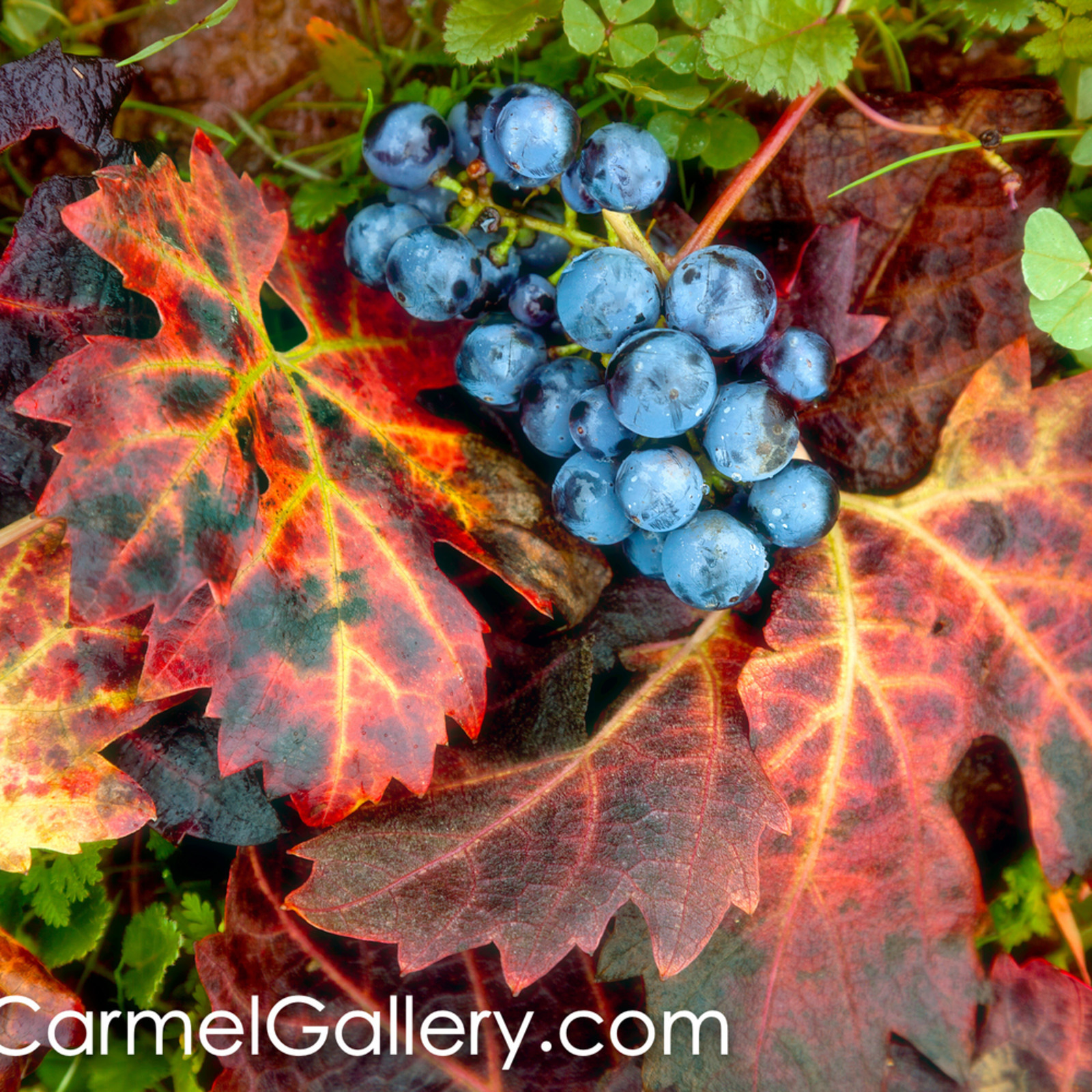 Autumn vines and grapes ob3gwj