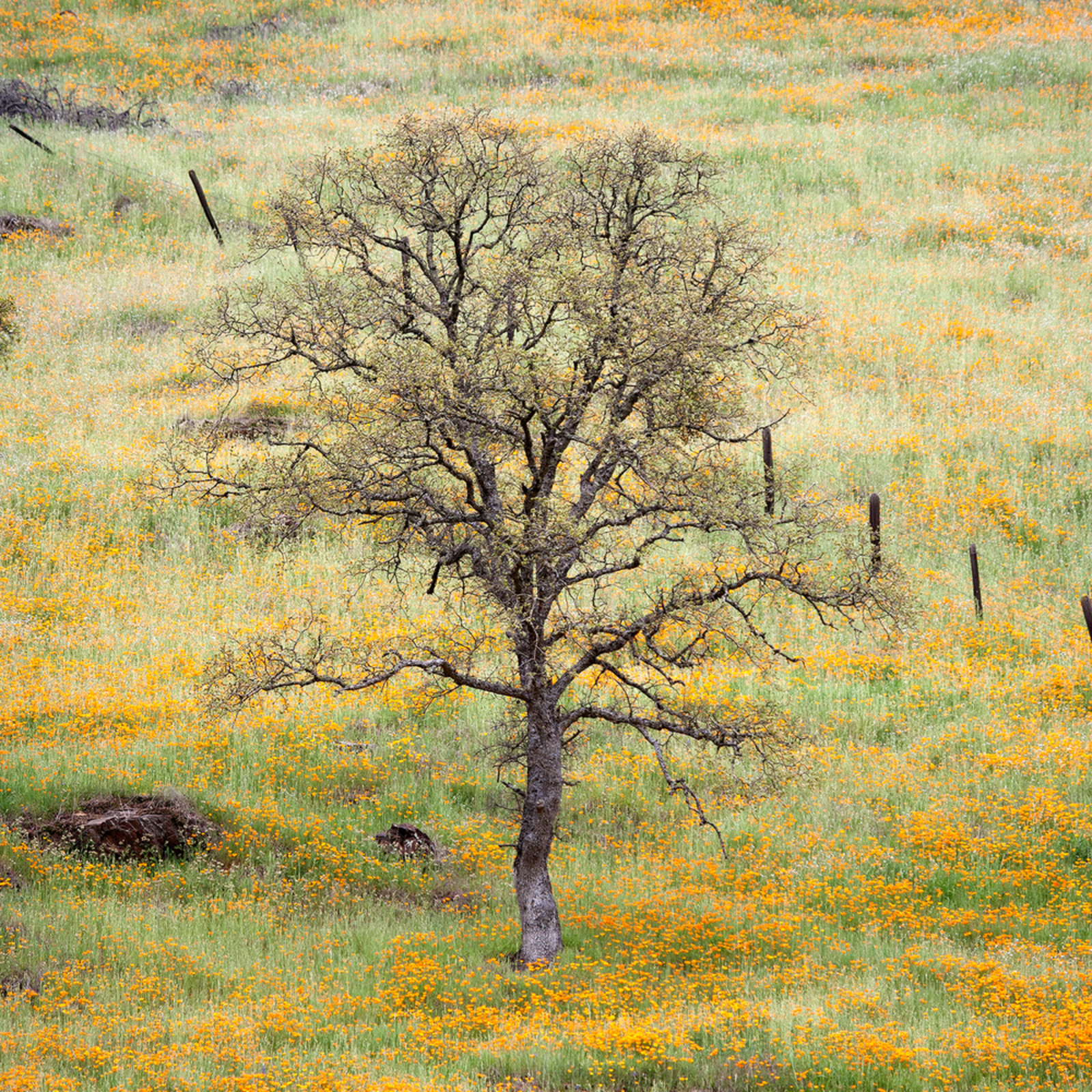 Lone oak and poppies dgq07y