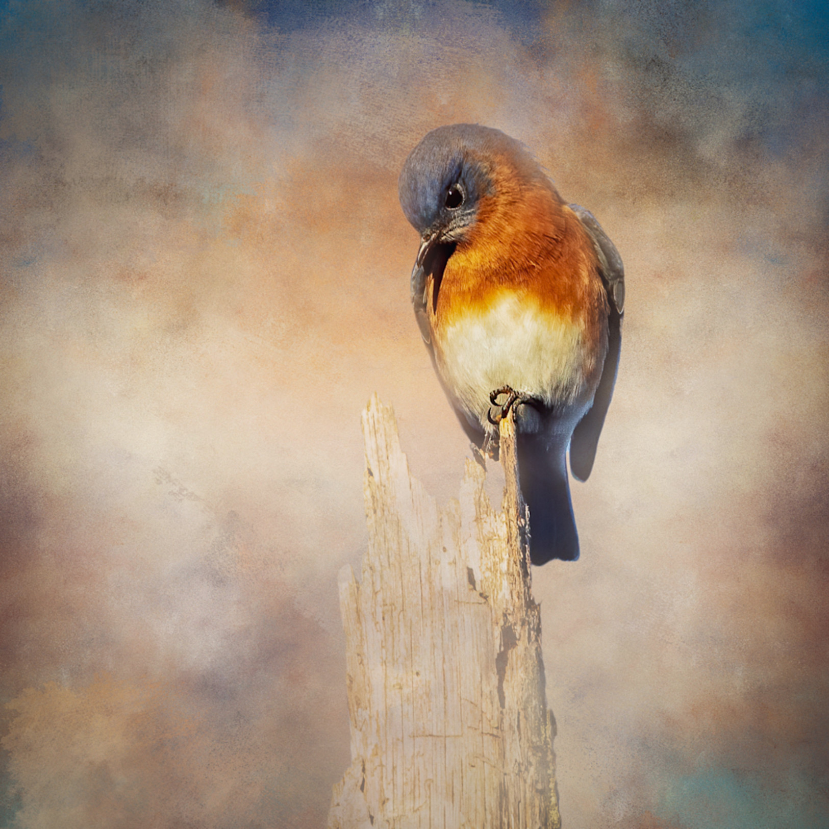 Eastern bluebird perched on dead tree square crop q0c861