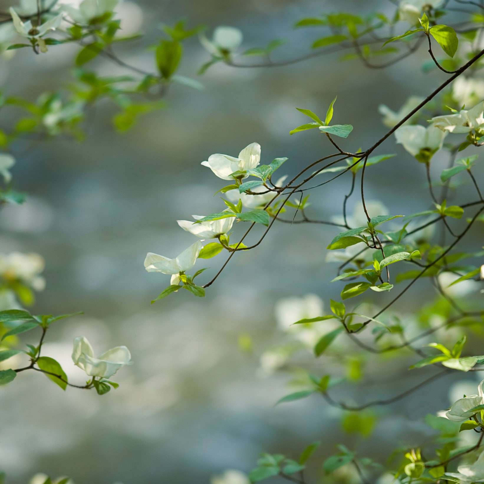 Dogwood blossoms cw38or