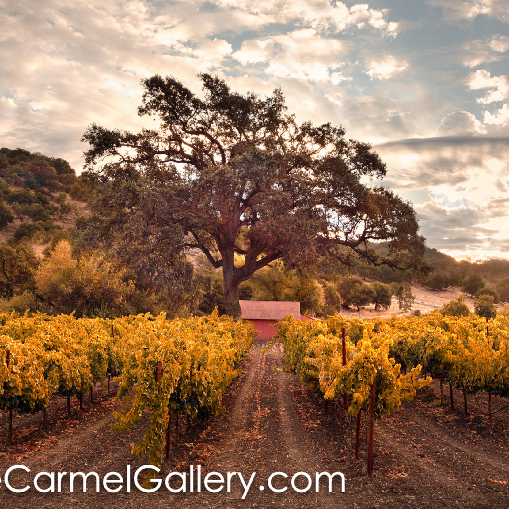Golden morning wine country beq91r