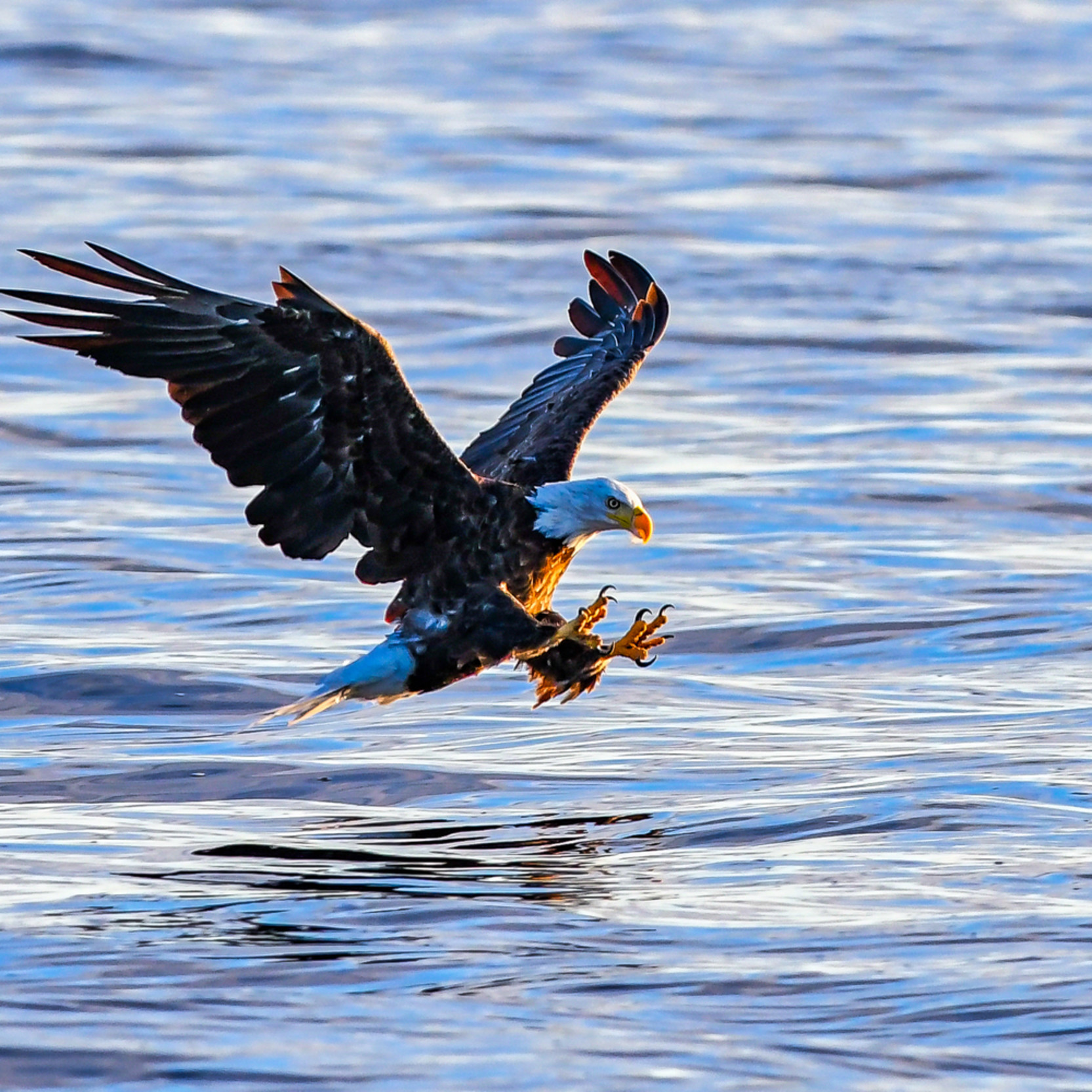 Andy crawford photography eagle catching fish 3 jthjxc